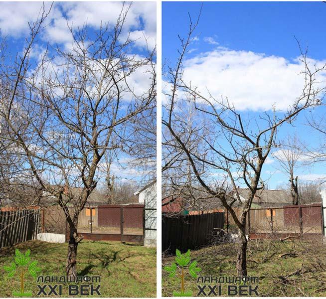 Обрезка яблони когда и как правильно ее делать - b140